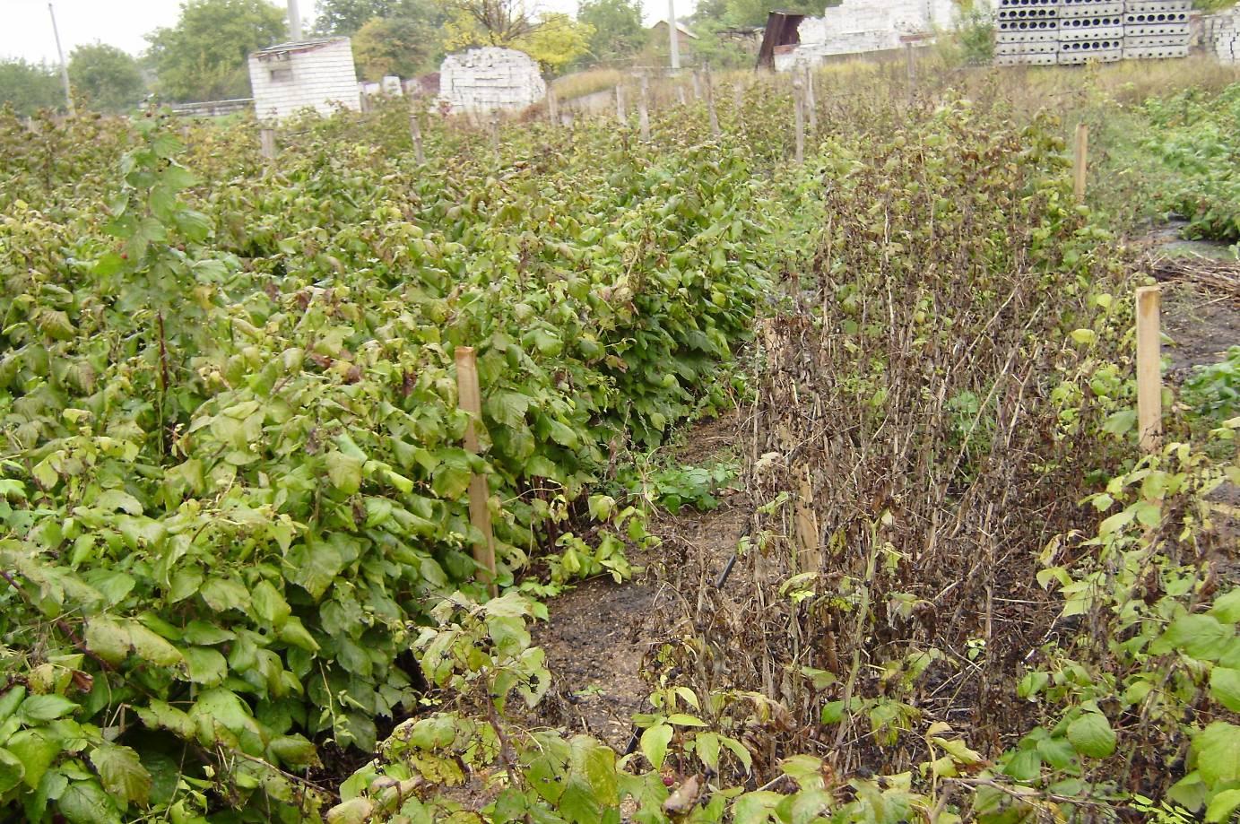 Агротехника выращивания малины 41